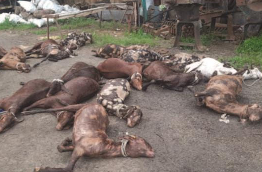 Hundreds of Goats Forced to Die of Thirst, Hunger and Suffocation, Traders Left at the Mercy of Police